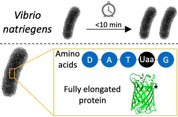 Eden Ozer, Lital Alfonta, Genetic Code Expansion of Vibrio Natriegens, Front. Bioeng. Biotechnol. 2021, 9, 95.