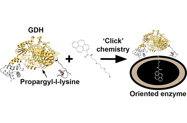 Itay Algov, Aviv Feiretag, Lital Alfonta, Site-specifically wired and oriented glucose dehydrogenase fused to a minimal cytochrome with high glucose sensing sensitivity, Biosens. Bioelectron. 2021, accepted.